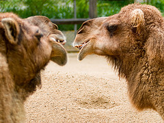 camels in a conversation